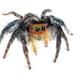 Jumping Spider - 5x7 Coloured Pencil