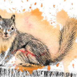 Red Squirrel - 5x7 Ink and Watercolour
