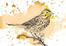 Savannah Sparrow - 5x7 Ink and Watercolour