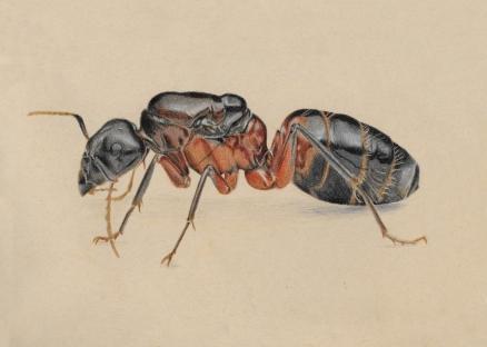 A carpenter ant queen