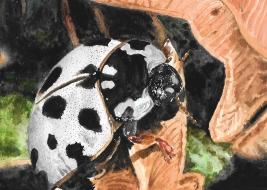 White ladybug - 5x7 Watercolour