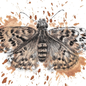 Mottled Duskywing - 5x7 Ink and Watercolour