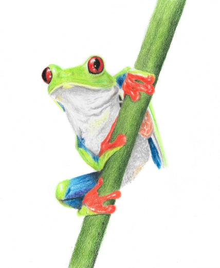 A recent coloured pencil portrait of a tree frog