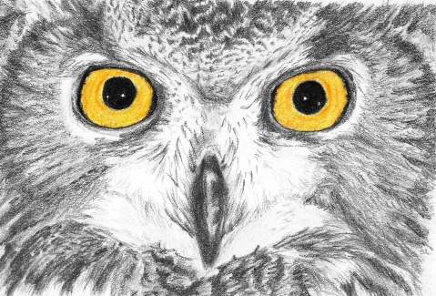 Graphite and coloured pencil owl