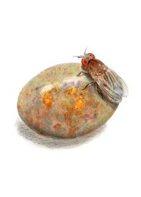 October: Opal - Fruit Fly - 5x7 Coloured Pencil