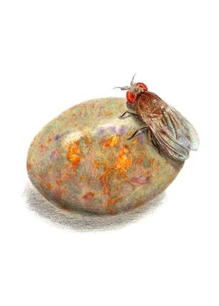 October: Opal - Fruit Fly